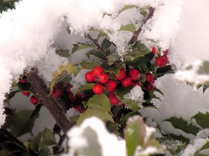 Snow on holly berries / Photo by Roger Starkey