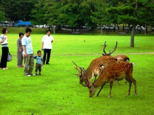 Deer grazing at Deer Park in Nara, Japan / Photo by Roger Starkey